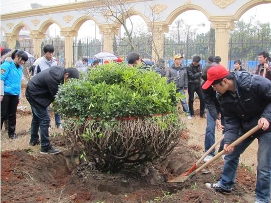 学生在环艺部工作人员的指导下进行树木移栽